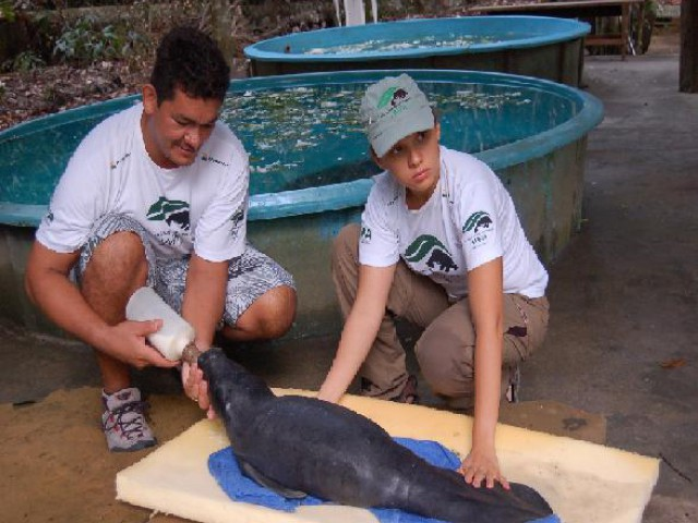 Debilitada, Iara, a filhote de peixe-boi resgatada no município de Autazes,  faleceu