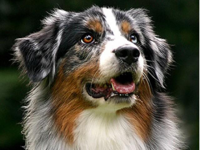 AIG lança seguro para animais de estimação