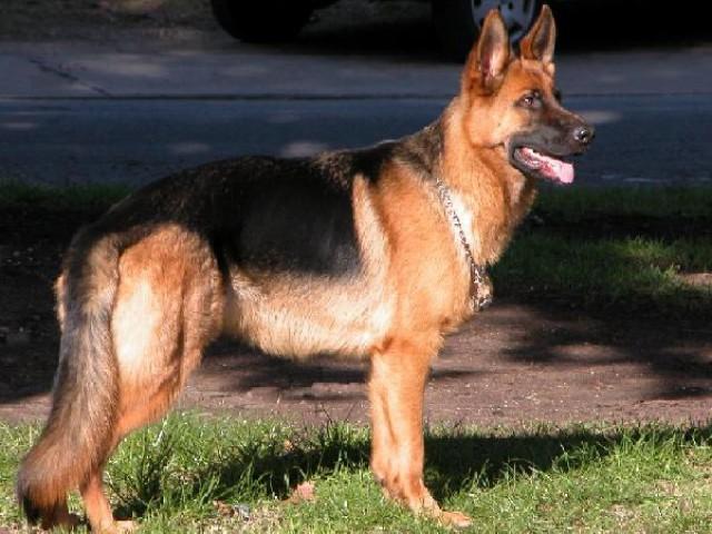 Cães da Polícia Militar passam por exames cardíacos